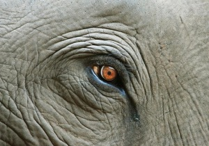Elephant Eye With Tear