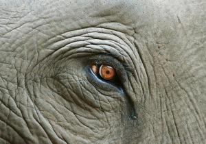 Elephant Eye With Tear