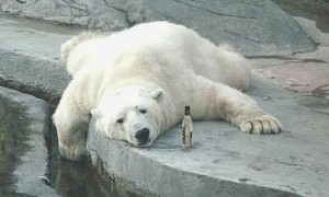 Hungover Polar Bear